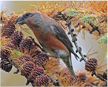 Större korsnäbb - Loxia pytyopsittacus - Parrot Crossbill