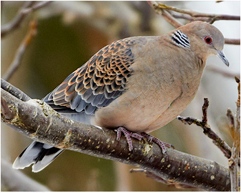 Större turturduva - Streptopelia orientalis - Orient Turtle Dove