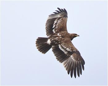 Större skrikörn - Clanga clanga - Greater Spotted Eagle