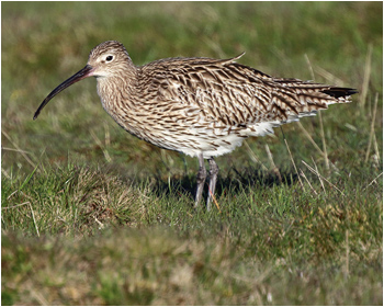 Storspov (Curlew)