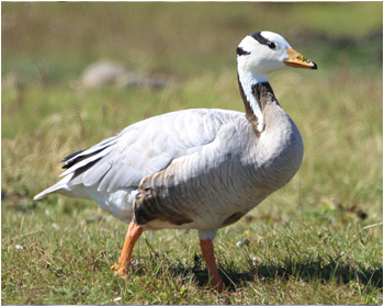 Stripgås - Anser indicus - Bar-headed Goose