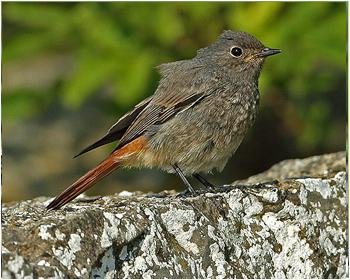 Svart rödstjärt - Phoenicurus ochruros - Black Redstart