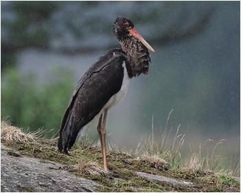 Svart stork (Black Stork)