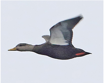 Svartand - Anas rubripes - American Black Duck