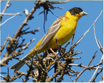 Svarthuvad sparv - Emberiza melanocephala - Black-headed Bunting