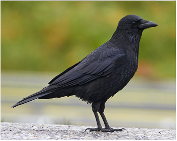 Svartkråka - Corvus corone corone - Carrion Crow