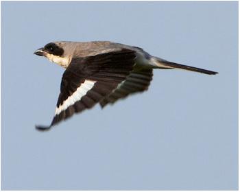 Svartpannad törnskata - Lanius minor - Lesser Grey Shrike