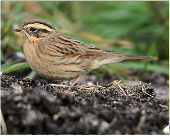 Svartstrupig järnsparv - Prunella atrogularis - Black-throuted Accentor