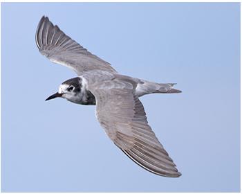 Svarttärna - Chlidonias niger - Black Tern