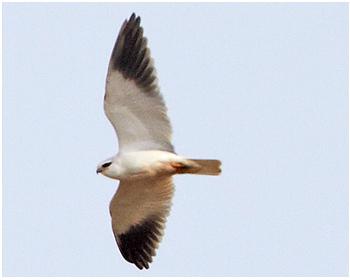 Svartvingad glada - Elanus caeruleus - Black-winged Kite