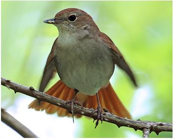 Sydnäktergal - Luscinia megarhynchos - Nightingale