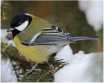 Talgoxe - Parus major - Great Tit