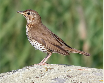 Taltrast - Turdus philomelos - Song Thrush