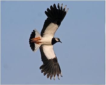 Tofsvipa - Vanellus vanellus - Northern Lapwing