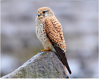 Tornfalk - Falco tinnunculus - Common Kestrel