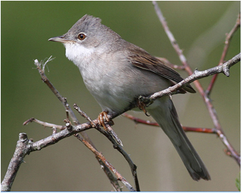 Törnsångare - Sylvia communis - Common Whitethroat