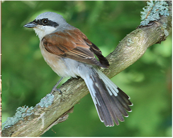 Törnskata - Lanius colurio - Red-backed Shrike