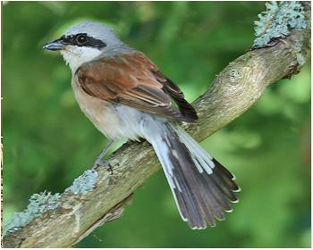Törnskata - Lanius colurio - Red-backed Shrike