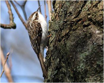 Trädkrypare - Certhia familiaris - Treecreeper