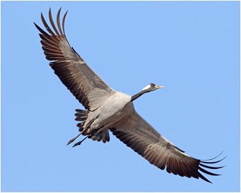 Trana - Grus grus - Common Crane