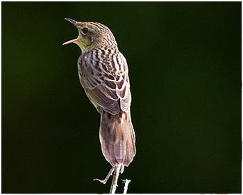 Träsksångare - Locustella lanceolata - Lanceolated Warbler