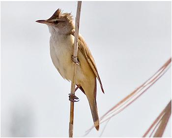 Trastsångare - Acrocephalus arundinaceus - Great Reed Warbler