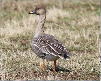 Tundrasädgås - Anser serrirostris - Tundra Bean Goose