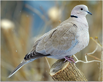 Turkduva - Streptophelia decaocto - Collared Dove