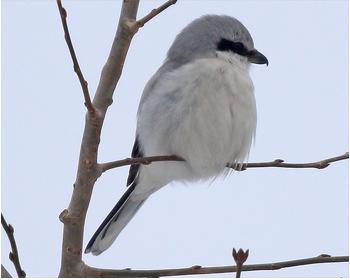 Varfågel (Great Grey Shrike) vid Torslandaviken utanför Göteborg