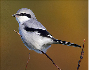 Varfågel - Lanius excubitor - Great Grey Shrike
