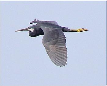 Västlig revhäger - Egretta gularis gularis - Western Reef Heron