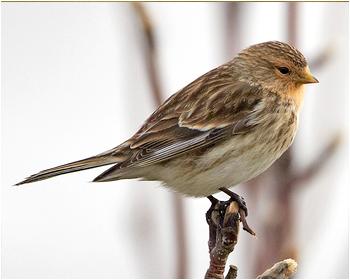 Vinterhämpling - Linaria flavirostris - Twite