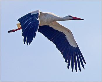 Vit stork (White Stork)