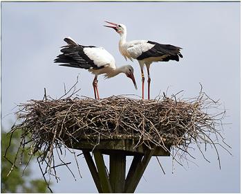 Vit stork - Ciconia ciconia - White Stork