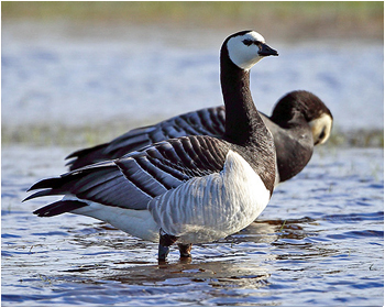 Vitkindad gås - Branta leucopsis - Barnacle Goose