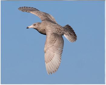 Vittrut - Larus hyperboreus - Glaucous Gull