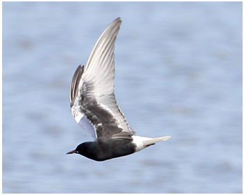 Vitvingad tärna - Chlidonias leucopterus - White-winged Tern