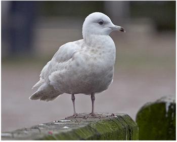 Vitvingad trut - Larus glaucoides - Iceland Gull