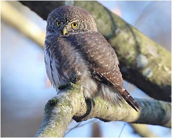 Sparvuggla (Pygmy Owl) vid Jonsereds Fabriker, Partille i Västergötland