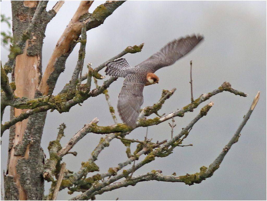 Aftonfalk (Red-footed Falcon), Åby nära Sandby på Öland