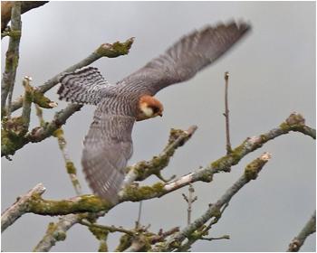 Aftonfalk (Red-footed Falcon) vid Åby norr om Sandby på Öland