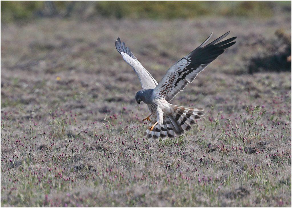 Ängshök (Montagu´s Harrier), södra Öland
