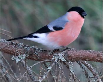 Domherre (Bullfinch) vid Mossbodarna, Dalarna