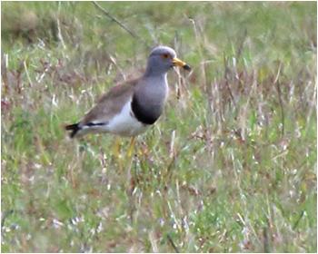 Gråhuvad vipa (Grey-headed lapwing) vid Strandvik, Väse i Värmland