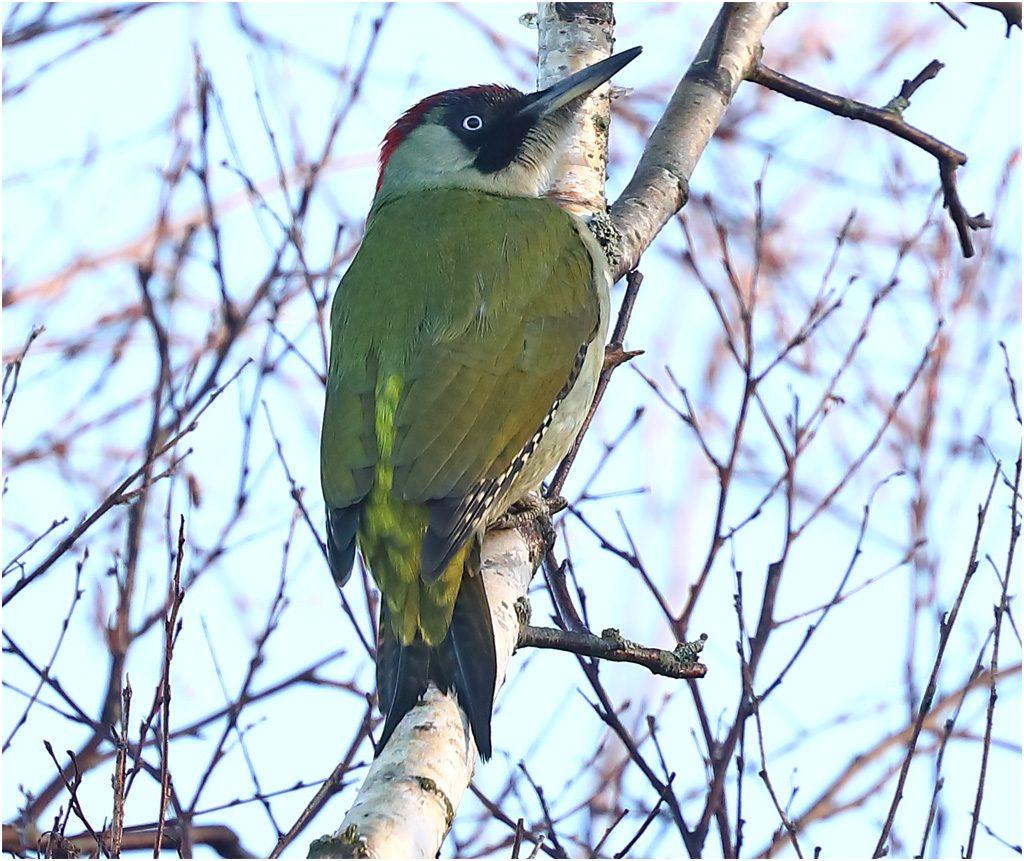 Gröngöling (Green Woodpecker) vid Skintebo hamn, Göteborg
