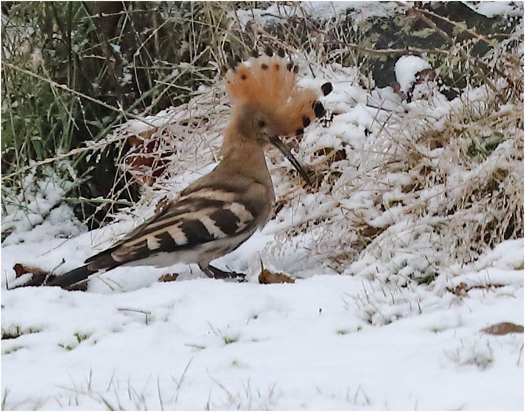 Härfågel (Hoopoe) vid Grimsholmen, Skrea i Halland