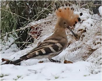 Härfågel (Hoopoe) vid Grimsholmen, söder om Falkenberg