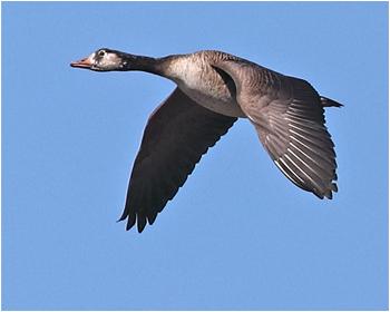 Kanadagås x Grågås (Canada Goose x Greylag Goose) vid Stora Amundö, Göteborg
