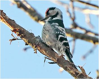 Mindre hackspett (Lesser Spotted Woodpecker) vid Stora Amundö, Göteborg