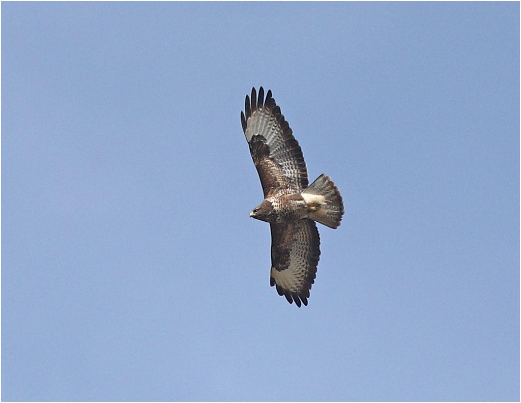 Omrvråk (Common Buzzard) vid Lis Mosse, Halland